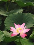 Lotus. This is a beauty from the Chinese Shandong Lotus Stock Image