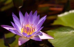 Lotus. A purple Lotus under sunshine stock photo