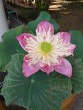 Lotus Стоковая Фотография RF