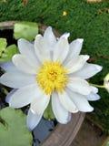 Lotus Στοκ φωτογραφία με δικαίωμα ελεύθερης χρήσης