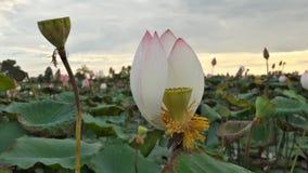 Lotus стоковое изображение rf