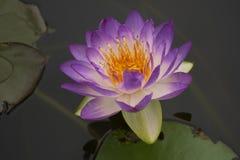 Lotus 74 imagem de stock
