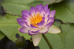 Lotus 71 imagens de stock