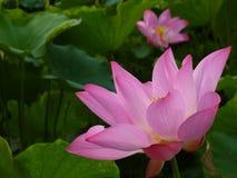 Lotus Стоковые Изображения