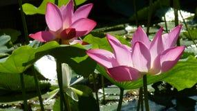 Lotus Стоковые Фотографии RF