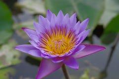 Lotus Obrazy Stock