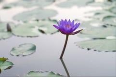 Lotus Obrazy Royalty Free