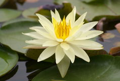 Lotus. White lotus flower in a lake Royalty Free Stock Photos
