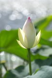 Lotus. White lotus bud in a lake Stock Image