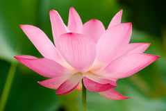 Lotus. It is the beautiful lotus flower photo Stock Image