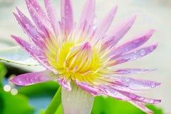 lotus imagens de stock royalty free