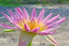 lotus fotografia de stock royalty free