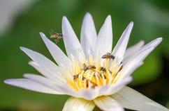 Lotus, abeja Fotos de archivo libres de regalías