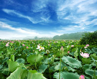 Lotus against perfect sky Royalty Free Stock Photography