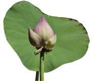Lotus aisló Imagenes de archivo