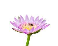 Lotus aisló en blanco con la abeja Imagenes de archivo