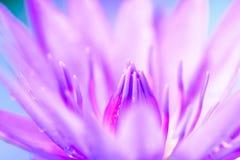 Lotus - Akcyjny wizerunek Zdjęcie Royalty Free