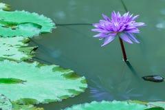 Lotus - Akcyjny wizerunek Fotografia Royalty Free