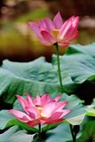 Lotus. Is also called the , lots of people are not clear.As I was Stock Photos