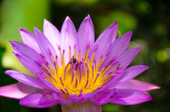 The Lotus is also a representative of the religion and the enlightened. In addition to the 5 types of flowers the other flowers also considered auspicious Stock Photos