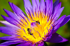 Lotus And Bees. Stock Photography