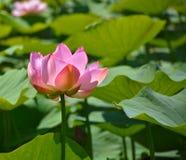 Lotus - anden som är ljus och som är klar, inte ämne till någon smuts eller slam arkivbild