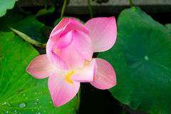 Lotus après pluie Photo libre de droits