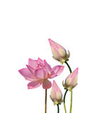 Lotus aquatic flora Stock Photo