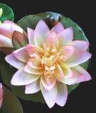 Lotus artificial e a rã Imagens de Stock