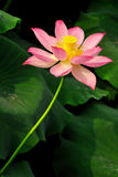 Lotus in asia Royalty Free Stock Photo
