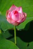 lotus au sujet de photo libre de droits