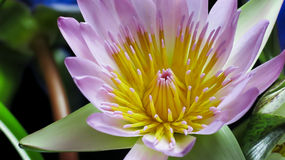 Lotus auf dunklem Hintergrund Lizenzfreies Stockfoto