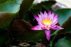 Lotus auf grünem Blatt backgroup Stockbild