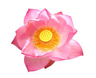 Lotus auf Isolatweißhintergrund Stockbilder