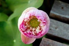 Lotus auf natürlichem Hintergrund von Thailand Stockbild