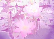 Lotus avec des filtres de couleur Photos libres de droits