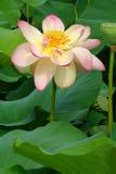 Lotus avec des gouttes de pluie Images stock