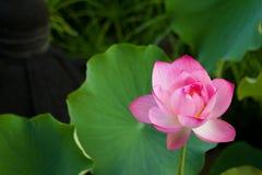 Lotus avec la rosée de matin Image stock