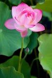 Lotus avec la rosée de matin en Hawaï Photo libre de droits