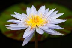 Lotus azul Foto de Stock