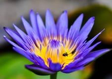 Lotus azul Foto de archivo