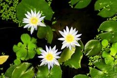 Lotus azul fotografia de stock
