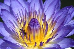 Lotus azul Imágenes de archivo libres de regalías