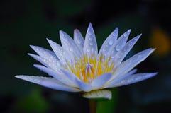 Lotus azul Imagen de archivo libre de regalías