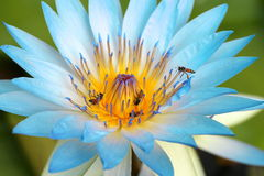 Lotus azul Foto de archivo libre de regalías
