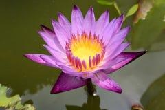 Lotus azul Fotos de Stock Royalty Free