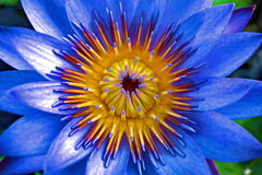Lotus azul Foto de Stock Royalty Free