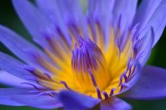 Lotus azul imagens de stock