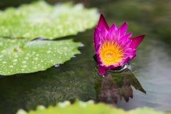Lotus börjar att blomma Arkivfoton