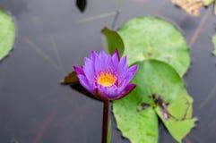 Lotus, błękit, kwiat, woda, piękna, leluja, natura, kwiat, piękno, flora, kwitnienie, zieleń, staw, kolor żółty, naturalny, rośli obraz stock